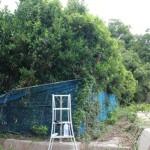 防風林、サンゴ樹の剪定に島に帰った