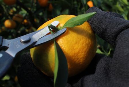 2、ヘタの部分の茎を短く切る