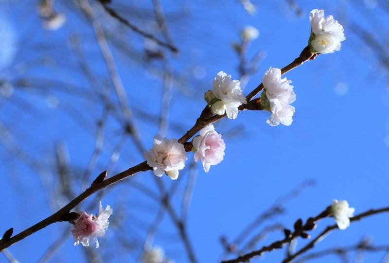 極楽寺山、秋に咲く桜