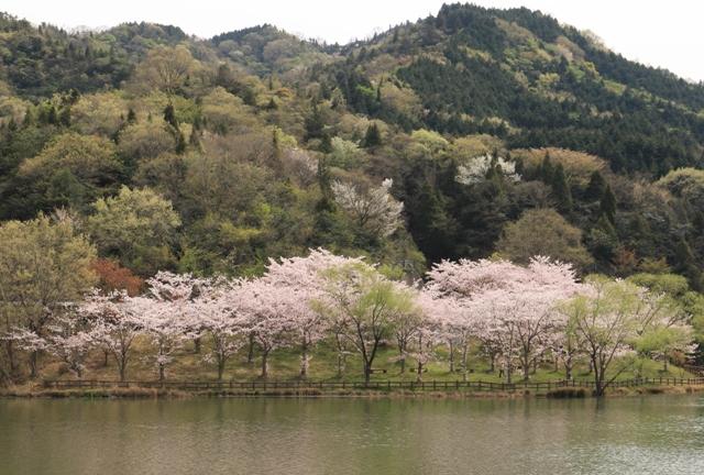 台ダムの桜(しまなみ海道、大三島)