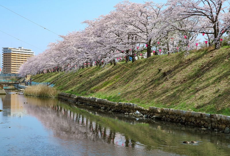 住吉堤防敷の桜並木