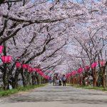 桜のトンネルが続く!!住吉堤防敷の桜並木(廿日市市)