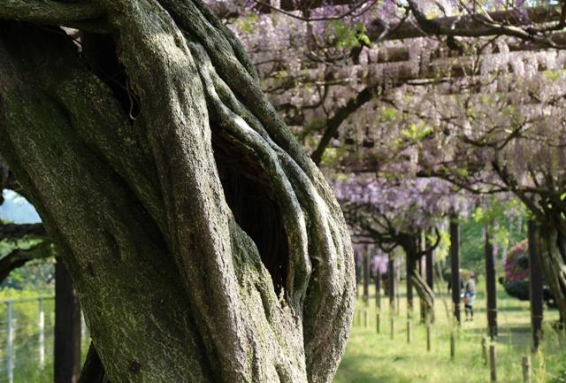 三永水源地の藤の幹