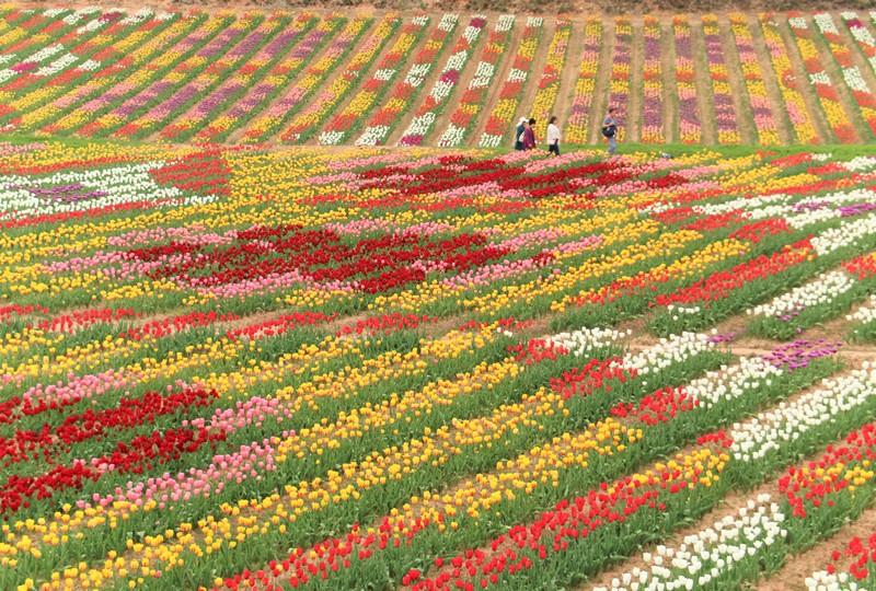 世羅高原農場チューリップ祭