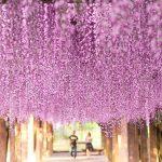 『大三島藤公園』の藤棚!国宝とロマンの島よりお届けじゃ!!