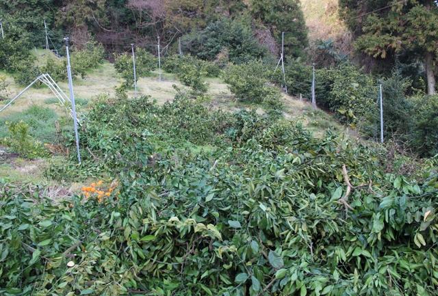 ミカンの木を伐採
