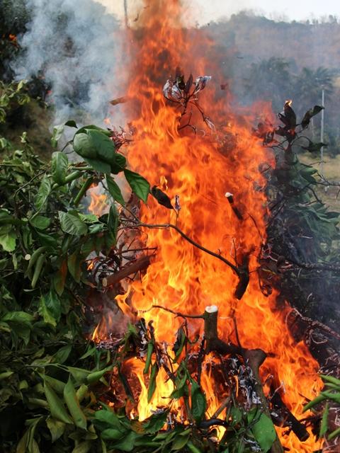 ミカンの木を焼却