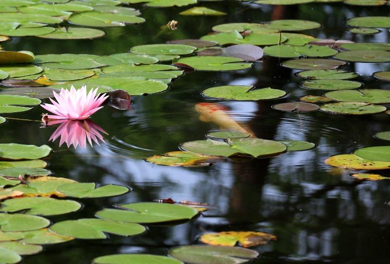 極楽寺山の蛇の池、睡蓮と鯉