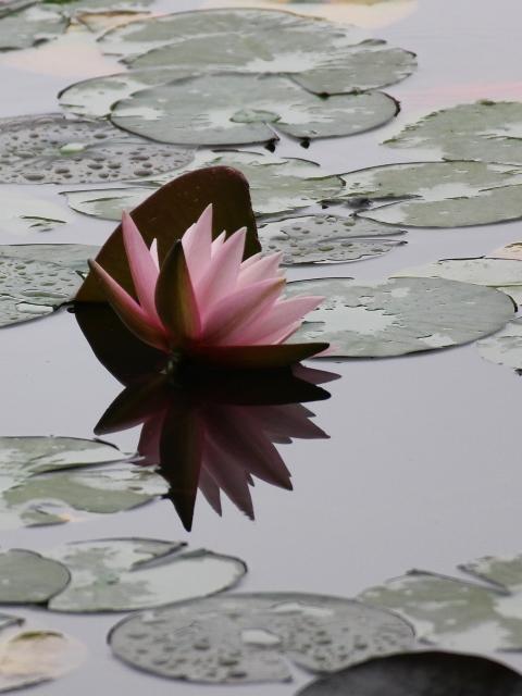 極楽寺山、蛇の池の睡蓮