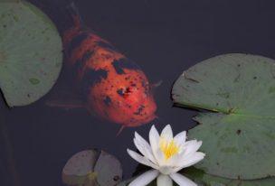 蛇の池の睡蓮と鯉