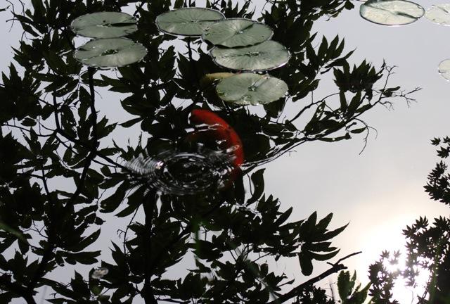 極楽寺山、蛇の池の睡蓮と鯉と反射