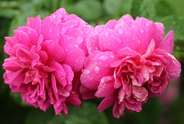上野ファームの雨に濡れた花