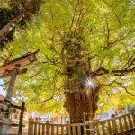 『筒賀の大銀杏』天を突く巨木が黄色く染まる~!!(安芸太田町筒賀)