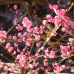 梅の花を求めて立春の『縮景園』へ!!(広島市中区)