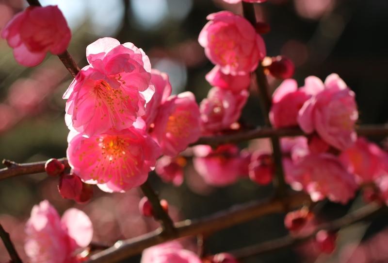縮景園、梅林に咲く梅の花