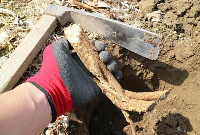 穴掘りの障害となる木の根は鍬で切断可能