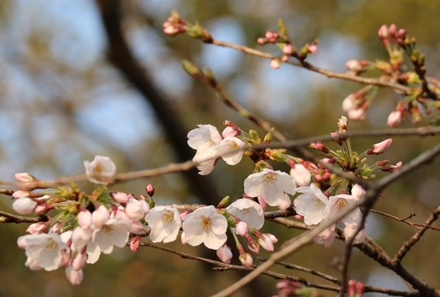 平和公園の桜開花