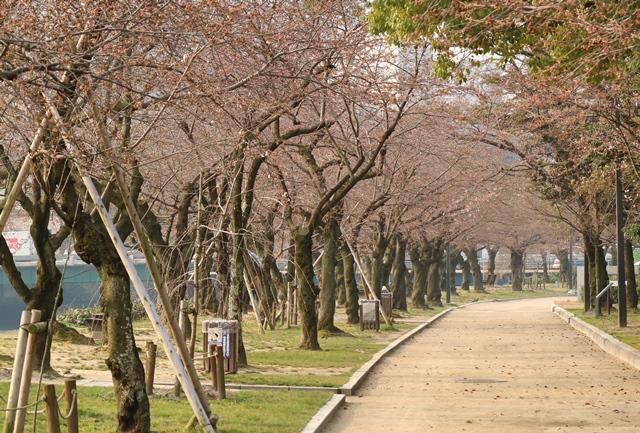 平和公園の桜の開花状況