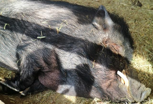トムミルクファームの寝顔が最高に可愛い黒豚
