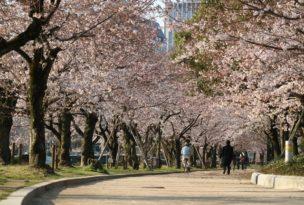 平和公園の桜開花状況