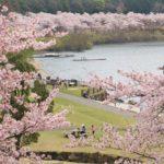 土師ダムの桜、八千代湖を囲う6000本のソメイヨシノ~!!