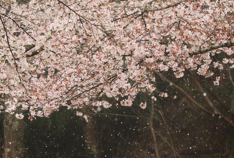 土師ダムの桜吹雪