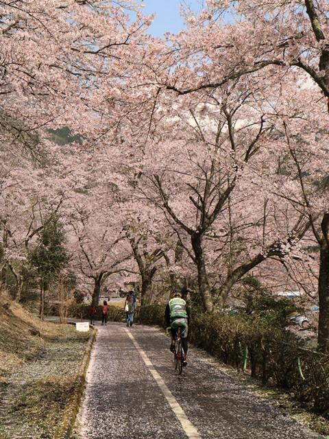 土師ダムの桜とサイクリングロード