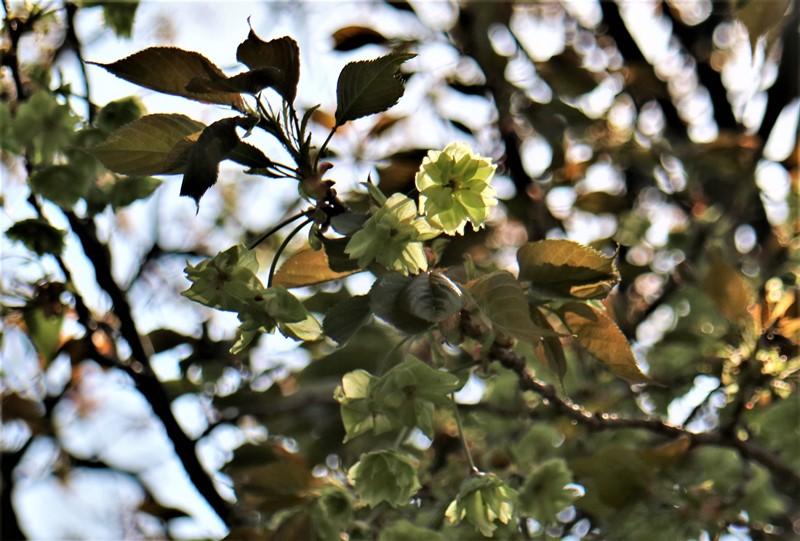 「花のまわりみち」八重桜