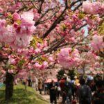 広島造幣局「花のまわりみち」豪華な八重桜が限定公開!