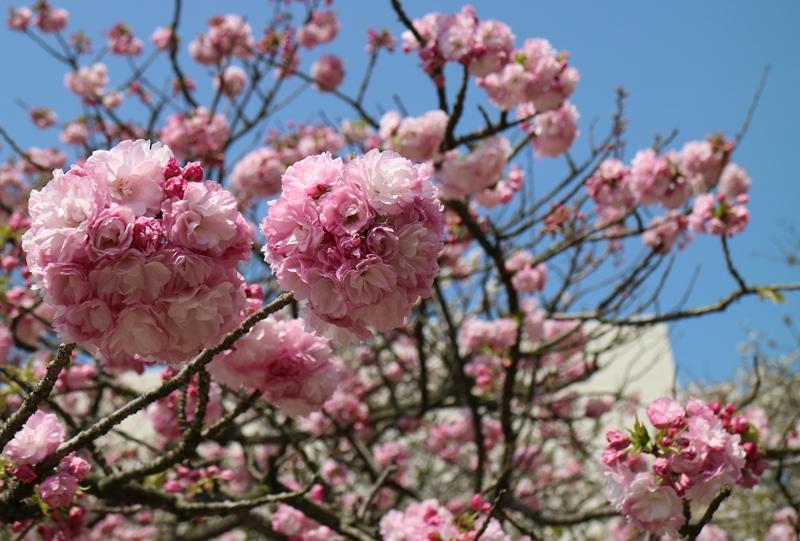 「花のまわりみち」まるでボールの様な八重桜