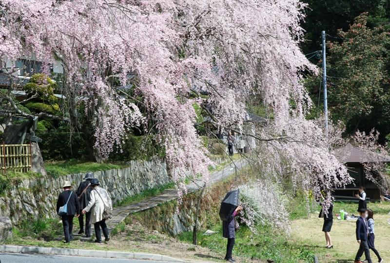 神原のしだれ桜、まるで滝の様