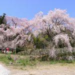神原のしだれ桜、心が落ち着く優雅な桜(広島市佐伯区五日市町)