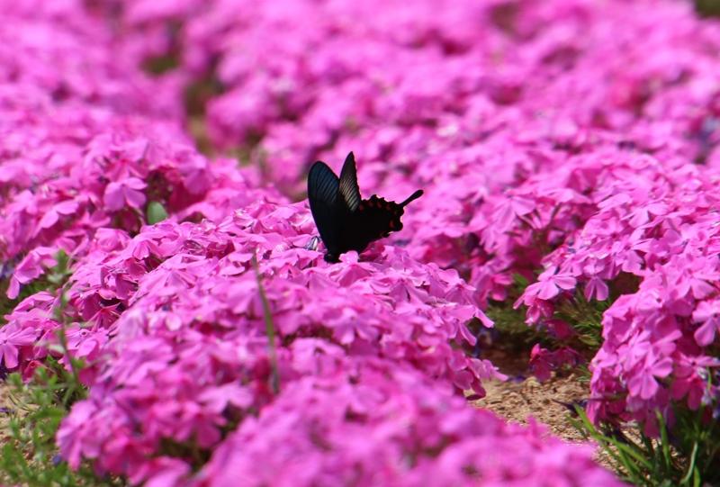 花夢の里、芝桜とクロアゲハ