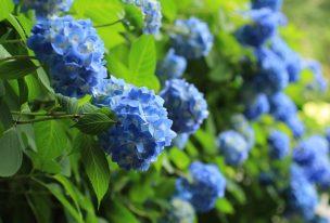広島市植物公園のアジサイ