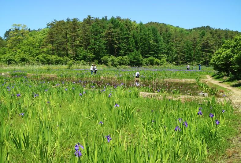 尾崎谷湿原(岩田農園)のカキツバタ