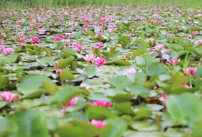 尾崎谷湿原の睡蓮