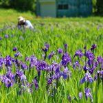 八幡湿原(尾崎谷)とカキツバタの里、一面に咲くカキツバタの花!