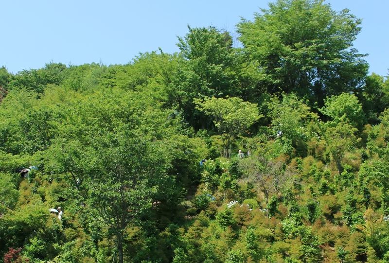観音寺の隣の丘にもアジサイが植えられている