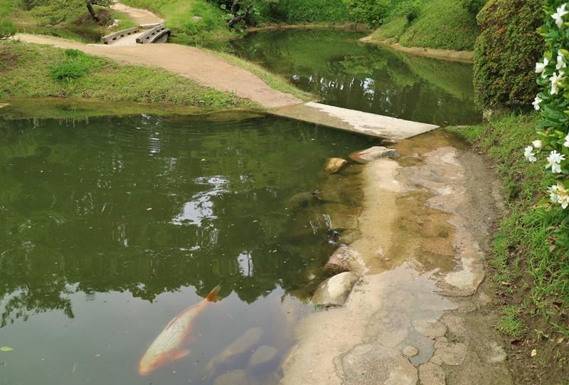 増水した濯纓池と鯉