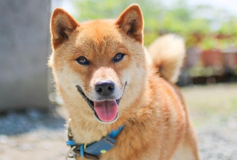 観音寺の看板犬
