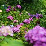 『たのしりあじさい園』個人の庭にこんなにも紫陽花が!(安芸太田町)