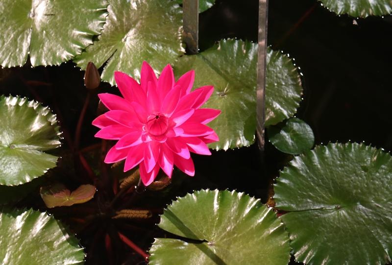 「花と光のページェント」夜開性の睡蓮(広島市植物公園)