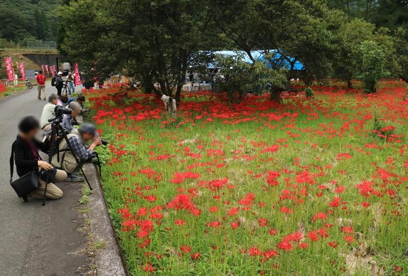 『ひがん花の里』彼岸花の群生地(島根県鹿足郡吉賀町)