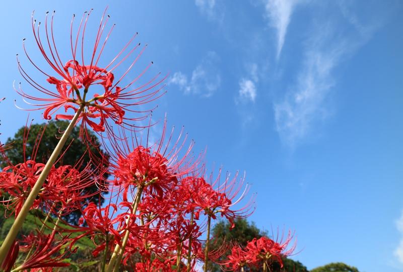 花みどり公園、彼岸花と青空