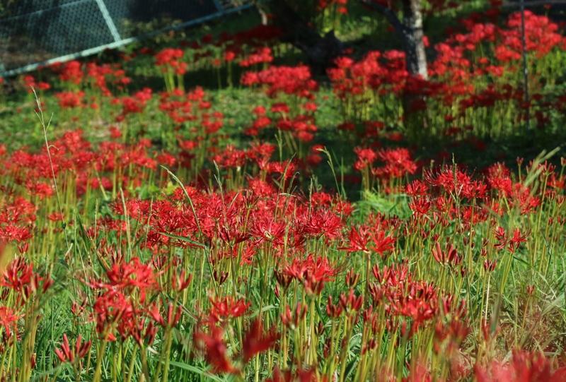 花みどり公園、彼岸花の群生