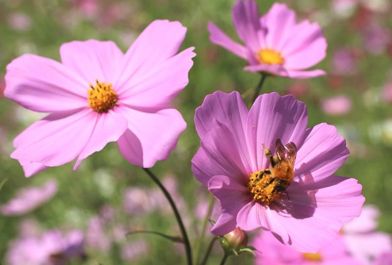 コスモスの蜜を食べる虫達