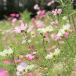 『香山ラベンダーの丘』コスモスの花畑を歩く!!(世羅郡世羅町別迫)