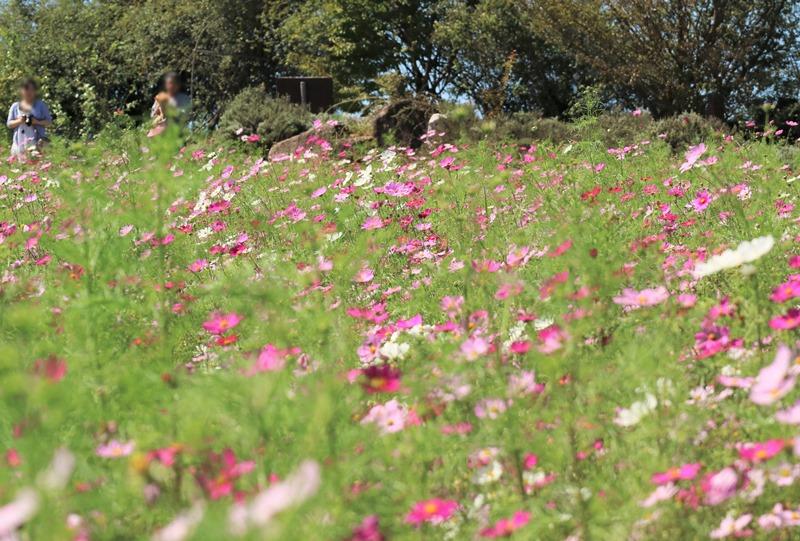 「香山ラベンダーの丘」コスモス畑