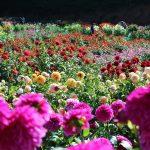 世羅高原農場『秋のダリア祭』西日本最大のダリアの楽園じゃ~!!