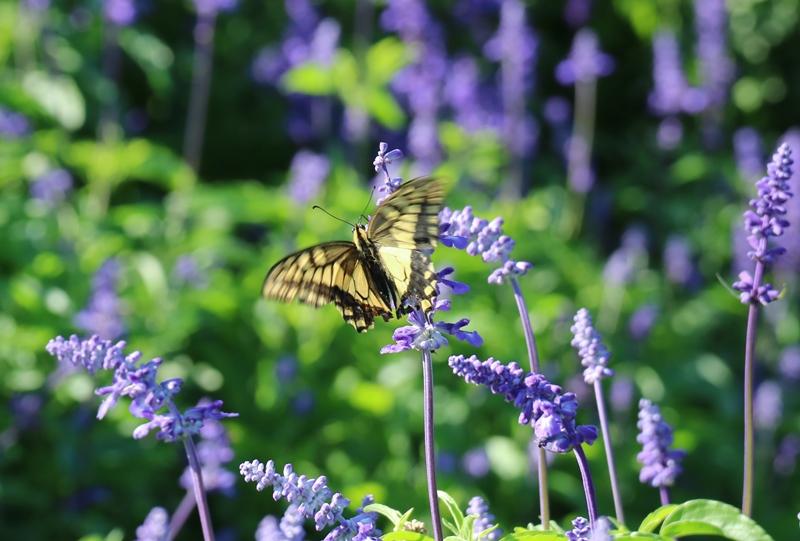 世羅高原農場、ブルーサルビアとアゲハ蝶